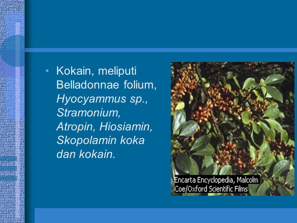 Kokain, meliputi Belladonnae folium, Hyocyammus sp