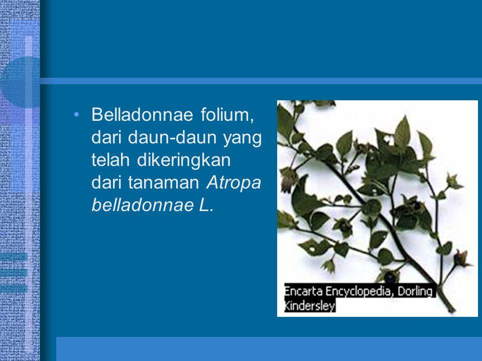 Belladonnae folium, dari daun-daun yang telah dikeringkan dari tanaman Atropa belladonnae L.
