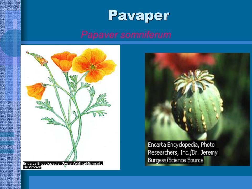 Pavaper Papaver somniferum