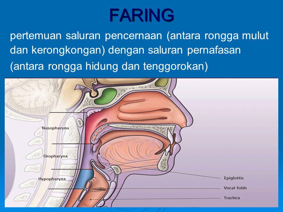 FARING pertemuan saluran pencernaan (antara rongga mulut