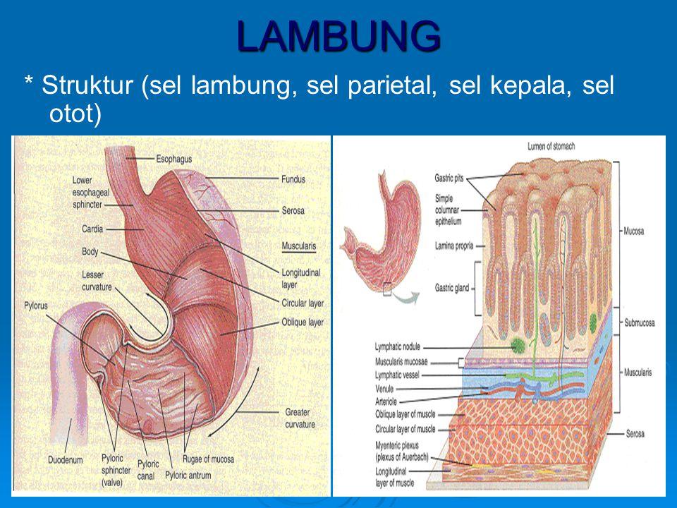 LAMBUNG * Struktur (sel lambung, sel parietal, sel kepala, sel otot)