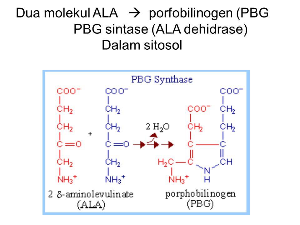 Dua molekul ALA  porfobilinogen (PBG PBG sintase (ALA dehidrase)