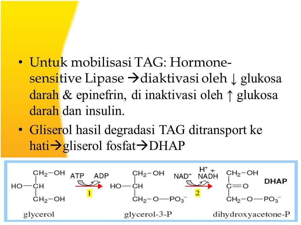 Untuk mobilisasi TAG: Hormone-sensitive Lipase diaktivasi oleh ↓ glukosa darah & epinefrin, di inaktivasi oleh ↑ glukosa darah dan insulin.