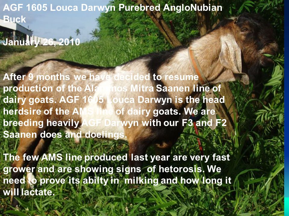 AGF 1605 Louca Darwyn Purebred AngloNubian Buck