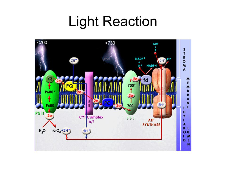 Light Reaction