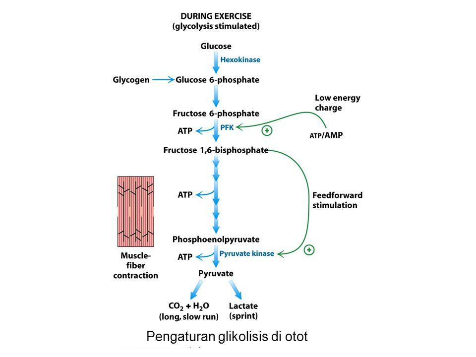 Pengaturan glikolisis di otot