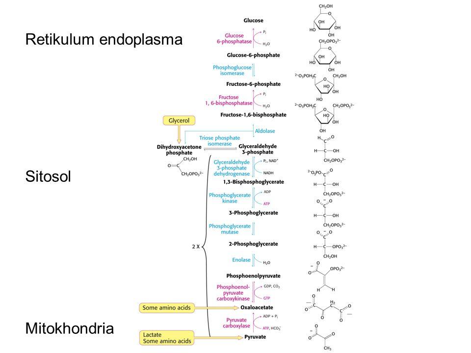 Retikulum endoplasma Sitosol Mitokhondria