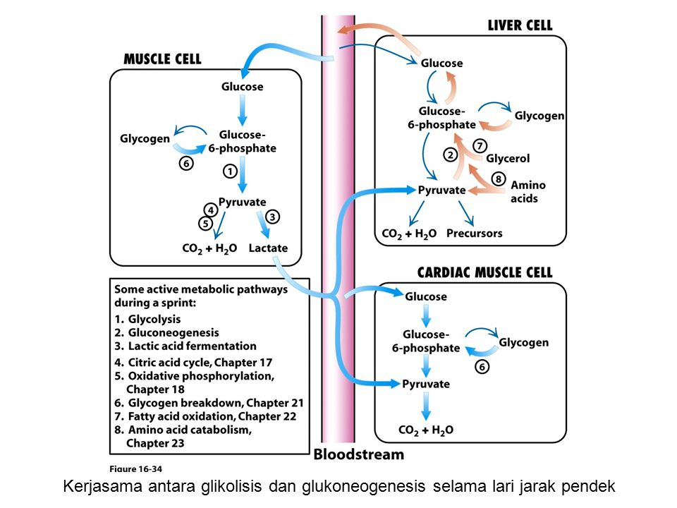 Kerjasama antara glikolisis dan glukoneogenesis selama lari jarak pendek