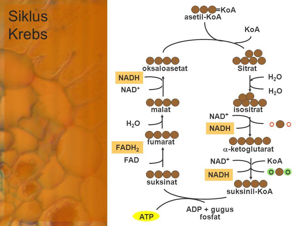 Siklus Krebs =KoA asetil-KoA KoA oksaloasetat Sitrat NADH H2O NAD+ H2O