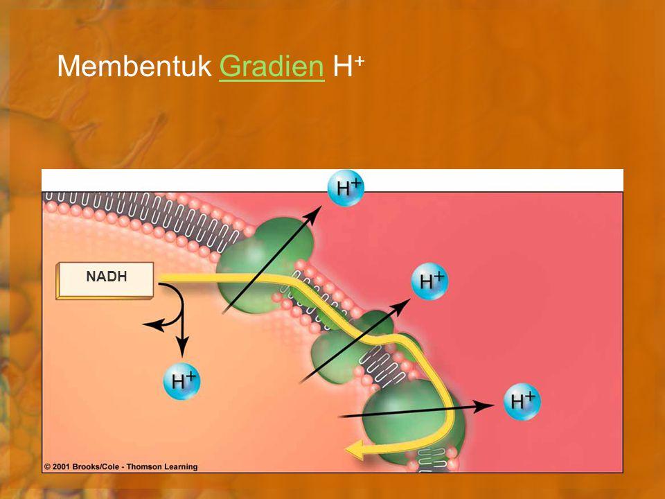 Membentuk Gradien H+ NADH