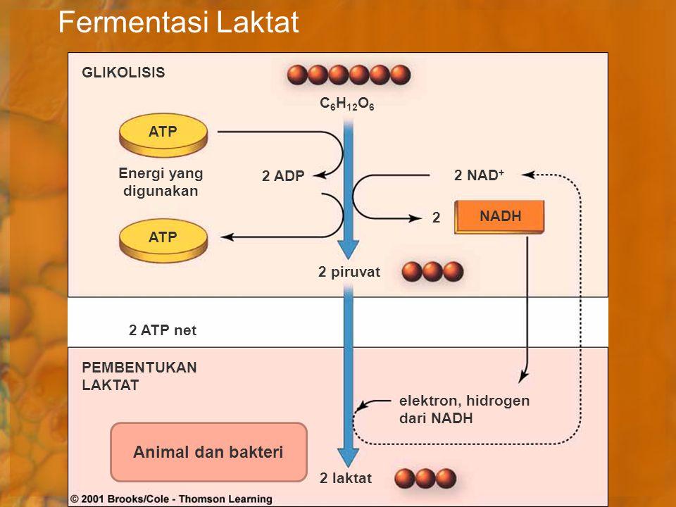 Fermentasi Laktat Animal dan bakteri GLIKOLISIS C6H12O6 ATP