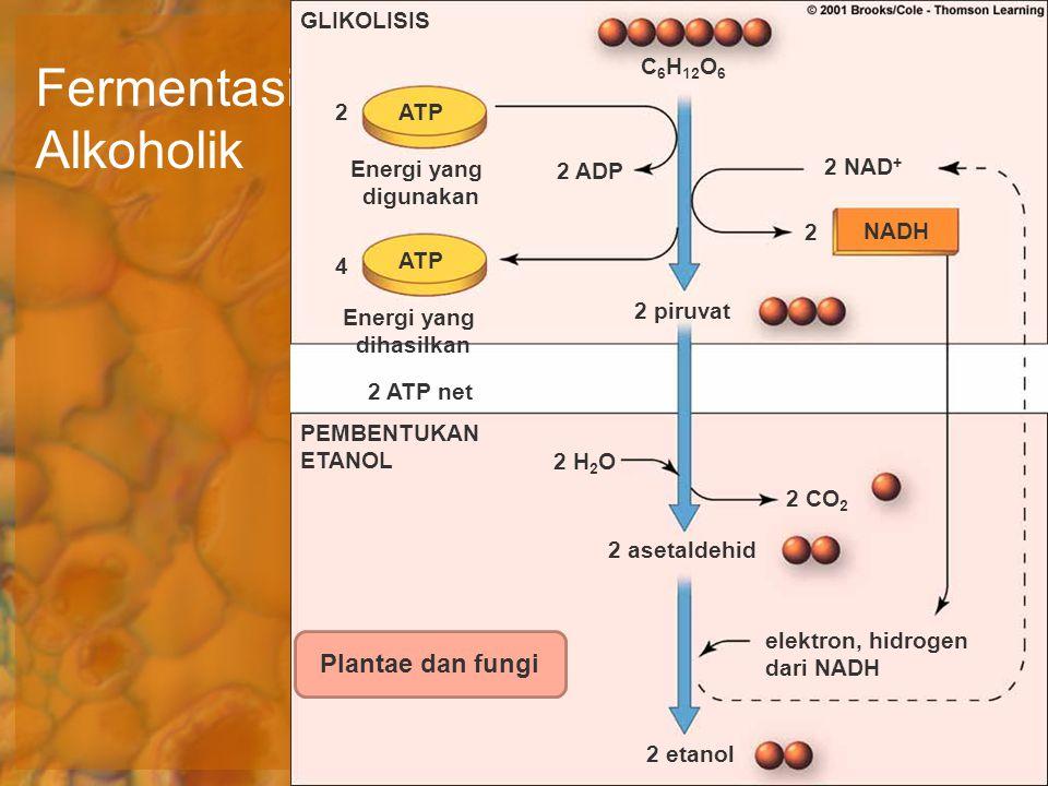 Fermentasi Alkoholik Plantae dan fungi GLIKOLISIS C6H12O6 2 ATP