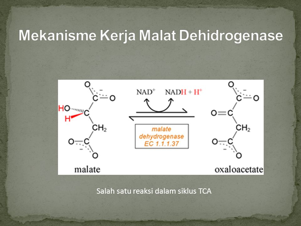 Mekanisme Kerja Malat Dehidrogenase