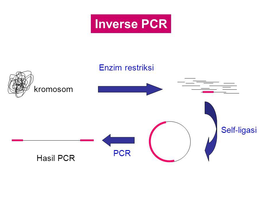 Inverse PCR Enzim restriksi kromosom Self-ligasi PCR Hasil PCR