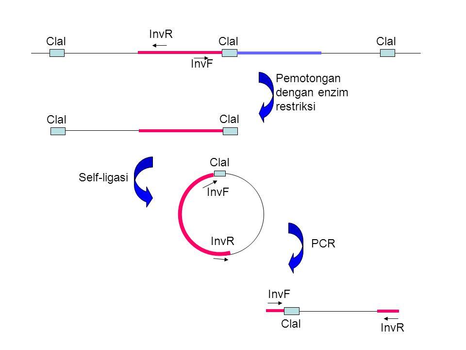 InvR ClaI. ClaI. ClaI. InvF. Pemotongan dengan enzim restriksi. ClaI. InvF. InvR. ClaI. Self-ligasi.