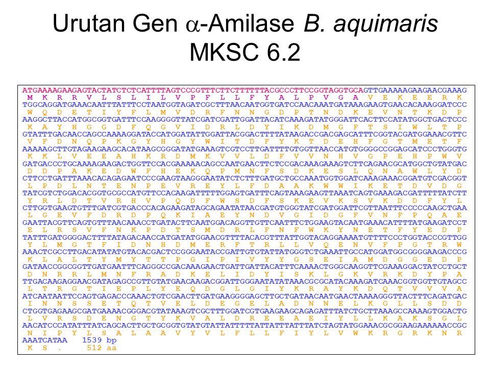Urutan Gen -Amilase B. aquimaris MKSC 6.2