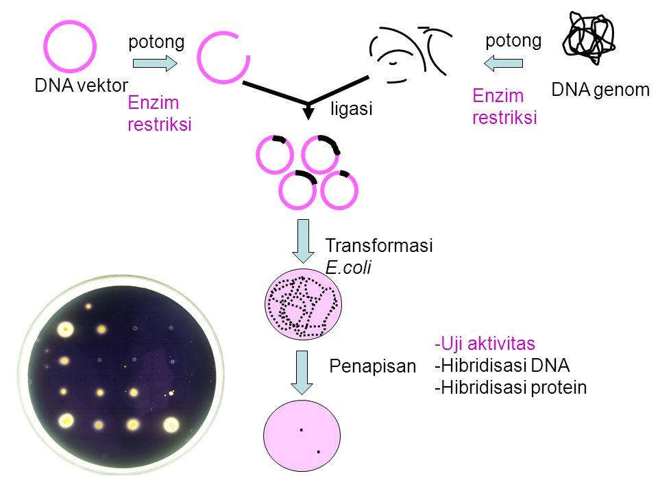 potong potong. DNA vektor. DNA genom. Enzim restriksi. Enzim restriksi. ligasi. Transformasi E.coli.