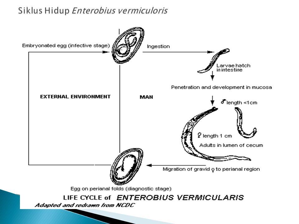 Siklus Hidup Enterobius vermiculoris