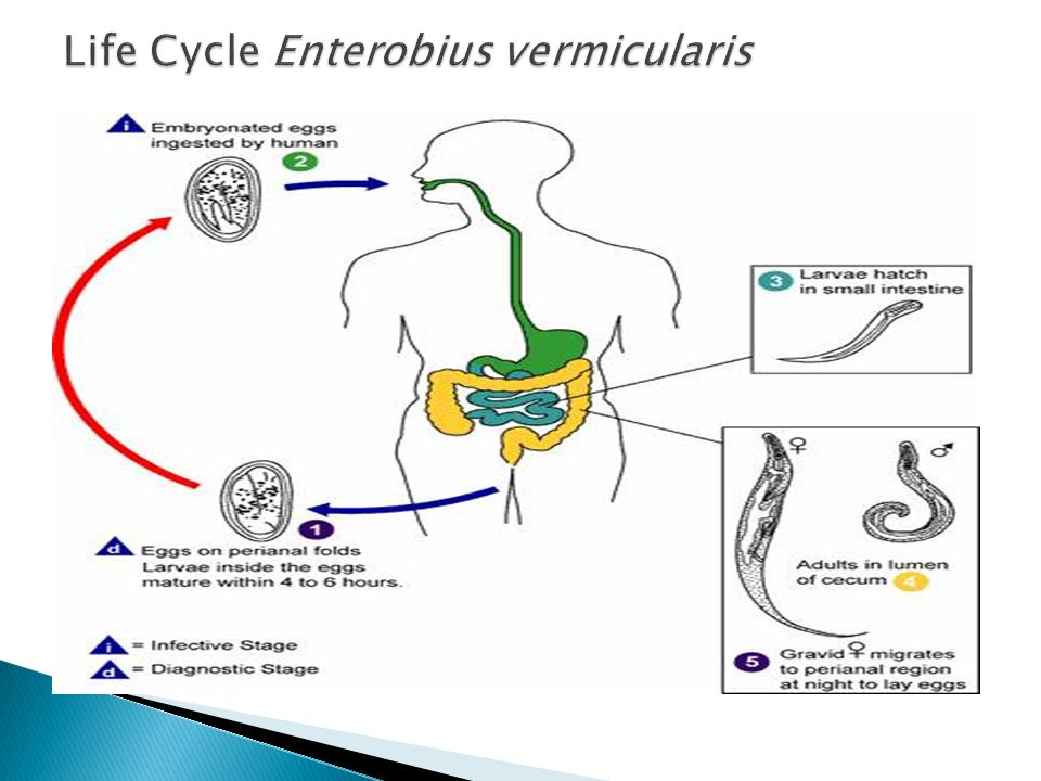 Life Cycle Enterobius vermicularis