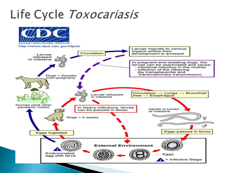 Life Cycle Toxocariasis