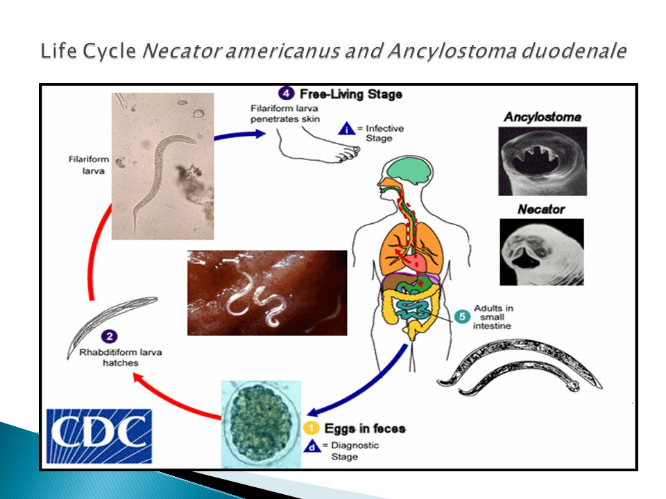 Life Cycle Necator americanus and Ancylostoma duodenale