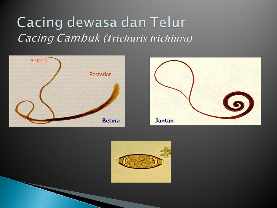 Cacing dewasa dan Telur Cacing Cambuk (Trichuris trichiura)
