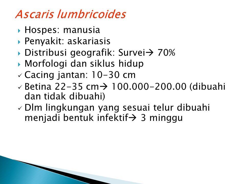 Ascaris lumbricoides Hospes: manusia Penyakit: askariasis