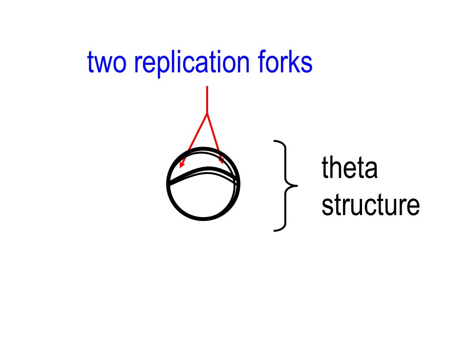 two replication forks theta structure