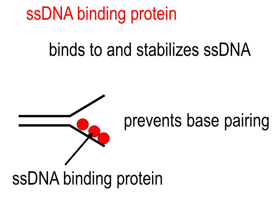 ssDNA binding protein binds to and stabilizes ssDNA prevents base pairing ssDNA binding protein