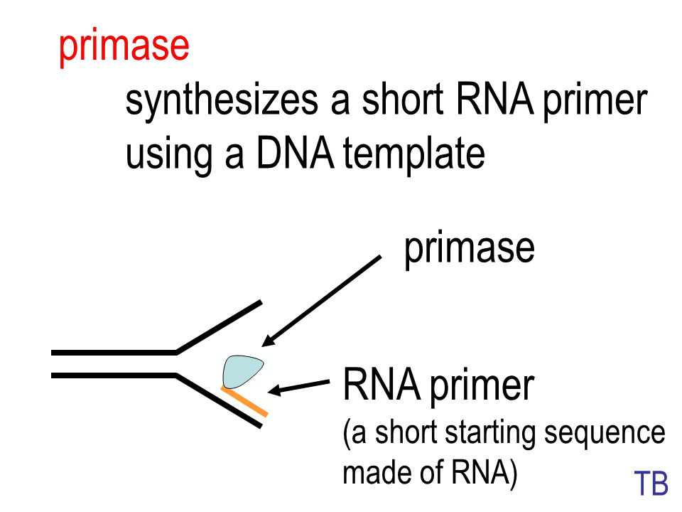 synthesizes a short RNA primer using a DNA template