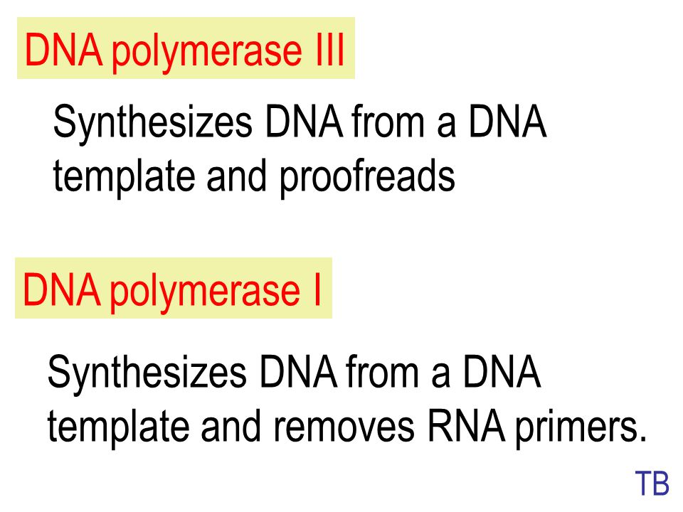 Synthesizes DNA from a DNA template and proofreads