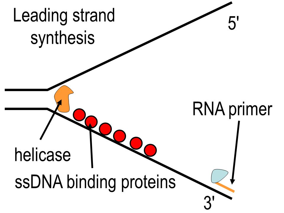 Leading strand synthesis 5 RNA primer helicase ssDNA binding proteins 3