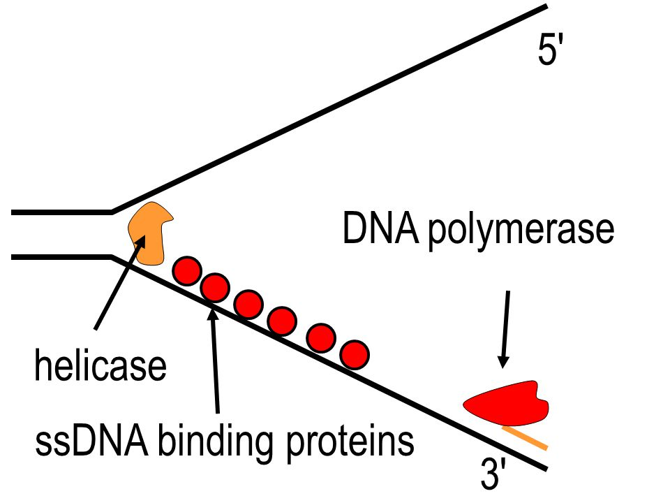 5 DNA polymerase helicase ssDNA binding proteins 3
