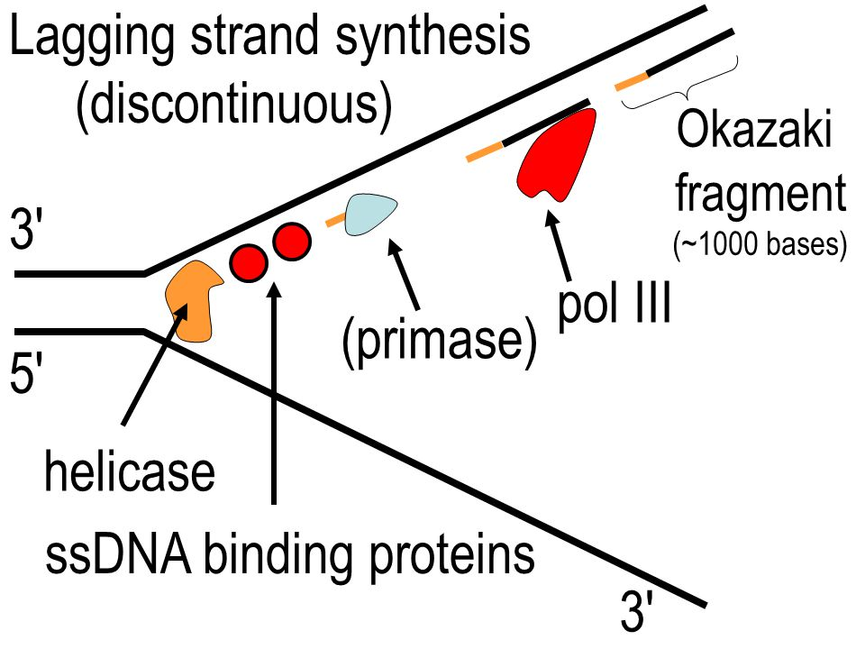 Lagging strand synthesis (discontinuous)