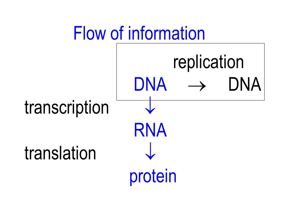 Flow of information replication. DNA  DNA. transcription  RNA. translation 