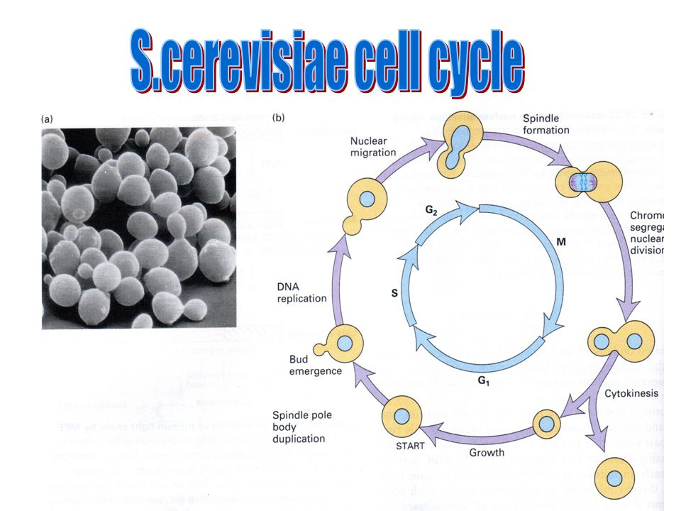S.cerevisiae cell cycle