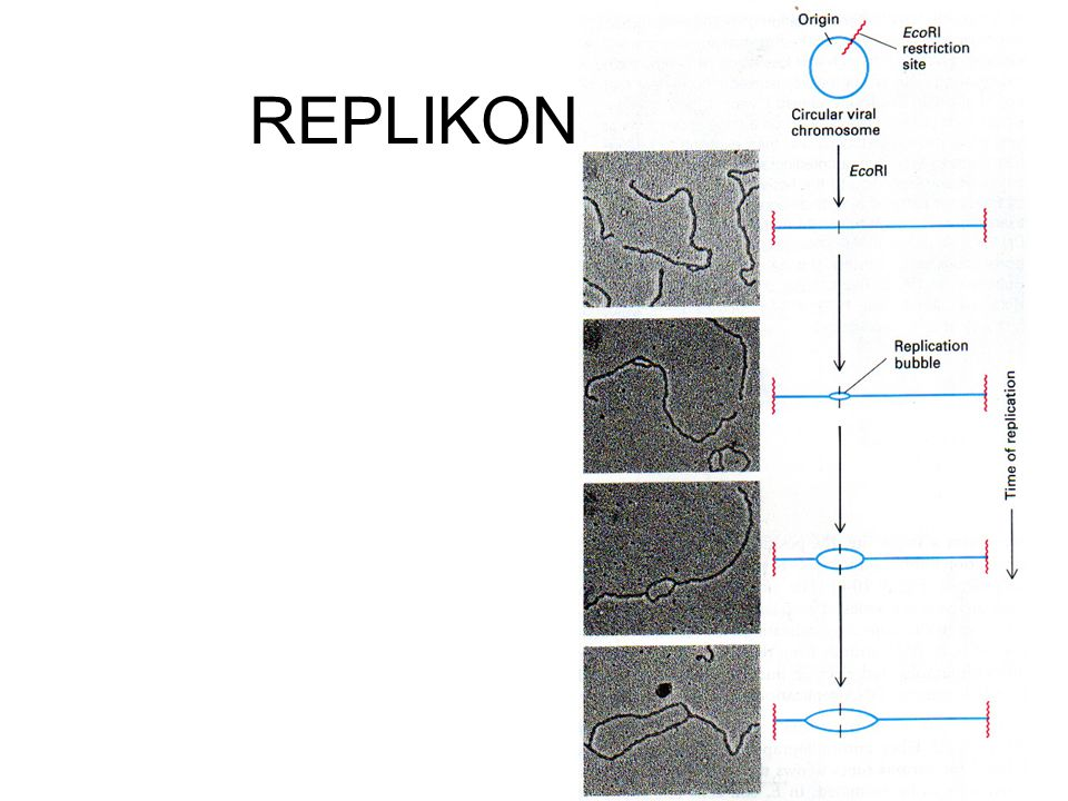 REPLIKON E.coli