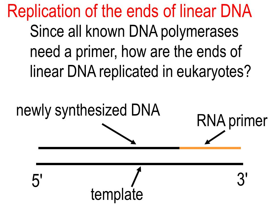 Replication of the ends of linear DNA