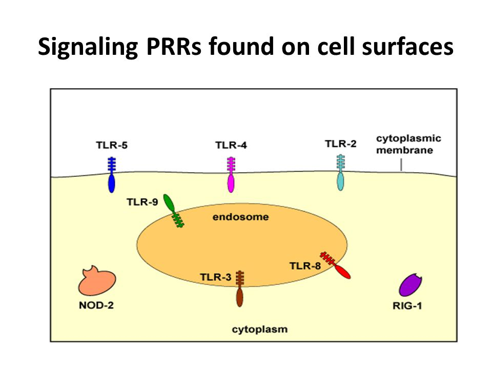 Signaling PRRs found on cell surfaces