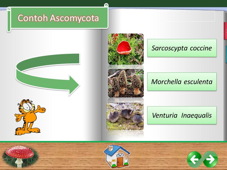 Contoh Ascomycota Sarcoscypta coccine Morchella esculenta