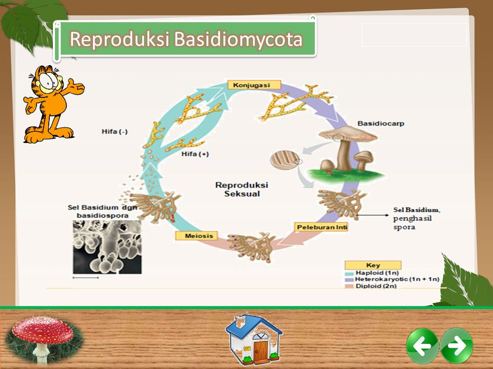 Reproduksi Basidiomycota