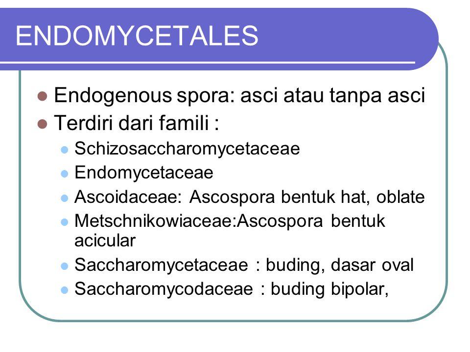 ENDOMYCETALES Endogenous spora: asci atau tanpa asci