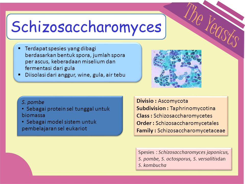 Schizosaccharomyces Terdapat spesies yang dibagi berdasarkan bentuk spora, jumlah spora per ascus, keberadaan miselium dan fermentasi dari gula.