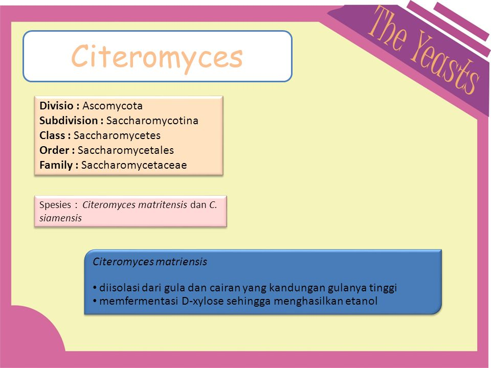 Citeromyces Divisio : Ascomycota Subdivision : Saccharomycotina