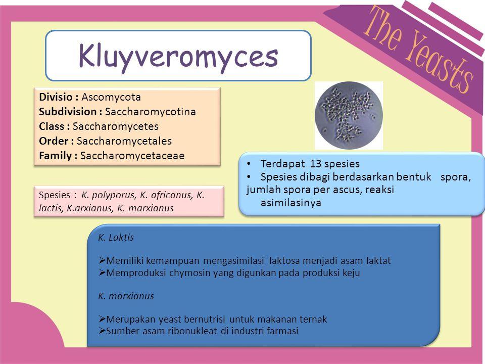 Kluyveromyces Divisio : Ascomycota Subdivision : Saccharomycotina