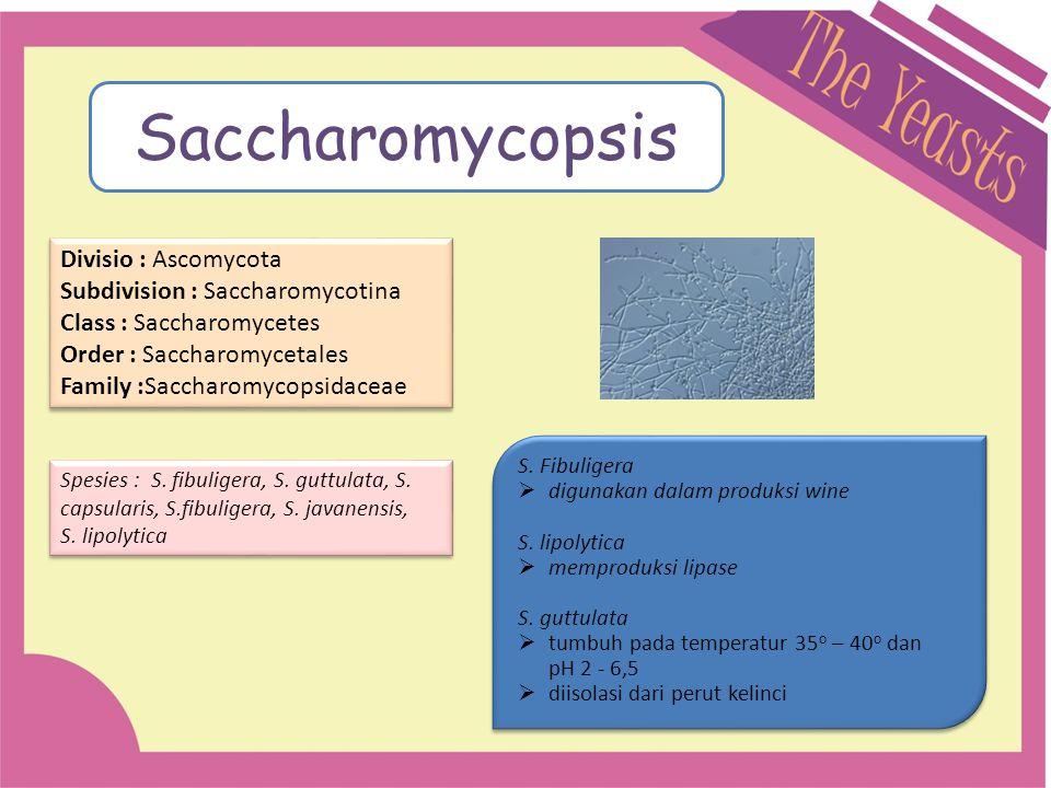 Saccharomycopsis Divisio : Ascomycota Subdivision : Saccharomycotina