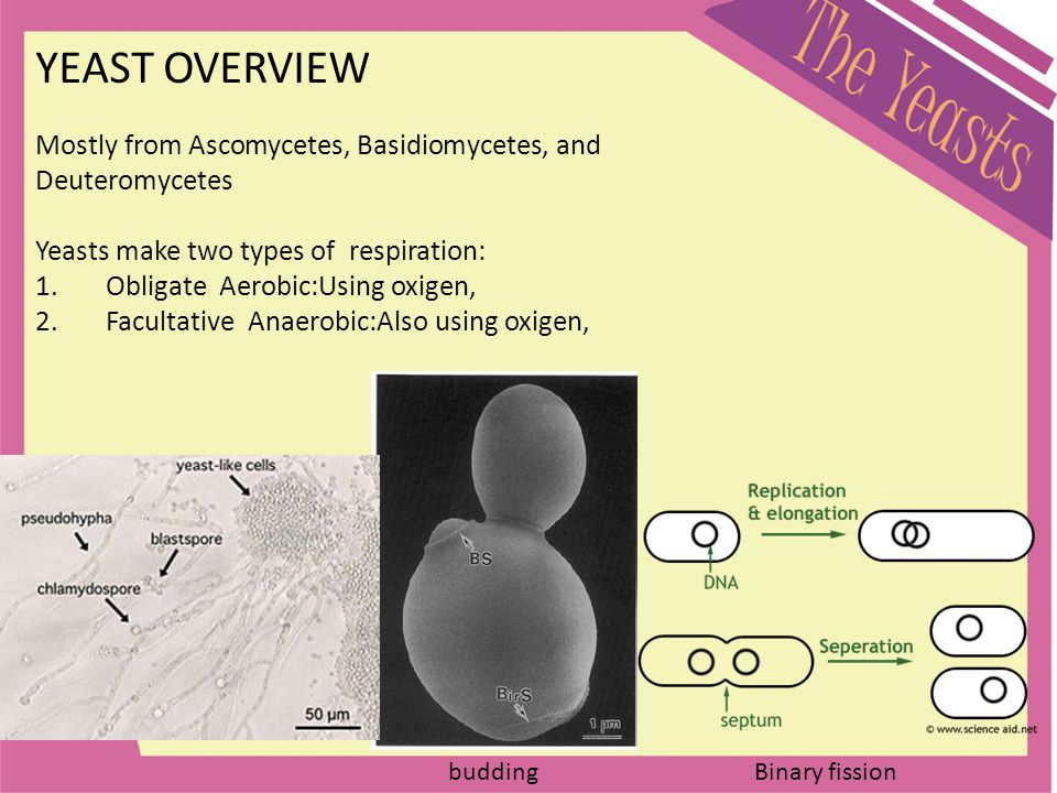 YEAST OVERVIEW Mostly from Ascomycetes, Basidiomycetes, and Deuteromycetes. Yeasts make two types of respiration: