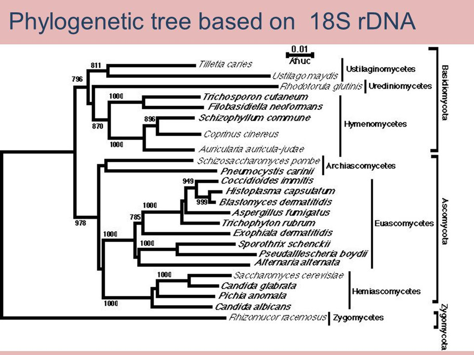 Phylogenetic tree based on 18S rDNA