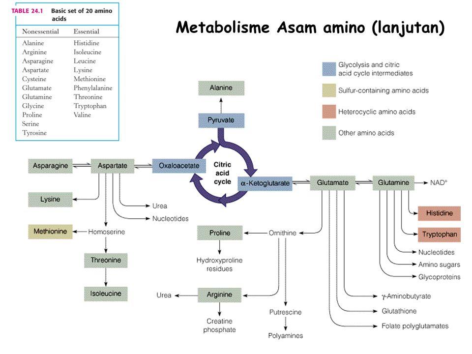 Metabolisme Asam amino (lanjutan)