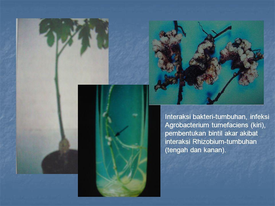 Interaksi bakteri-tumbuhan, infeksi